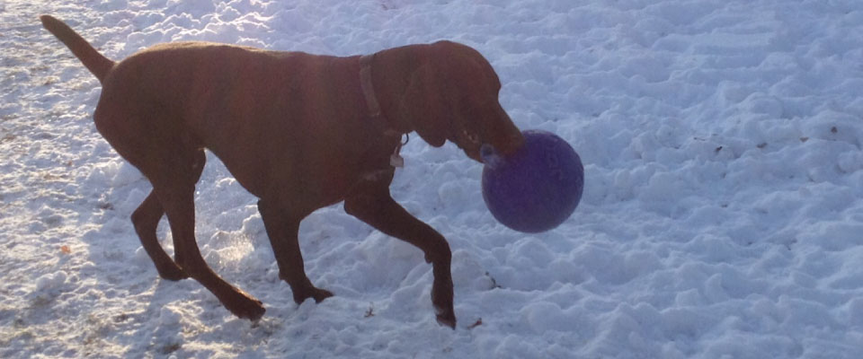 Dog with frisbee in the snow